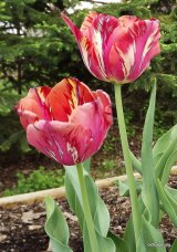 Triumph tulip Couleur Cardinal, photo by Mary Ellen Wall (2011)